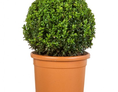 Buxus sempervirens bol 30 cm - palm