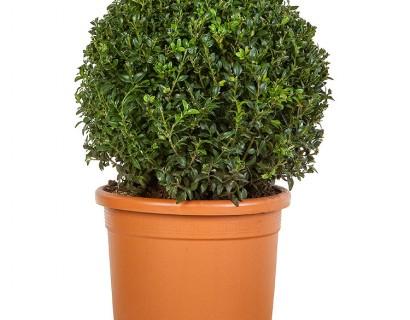 Buxus sempervirens bol 35 cm - palm