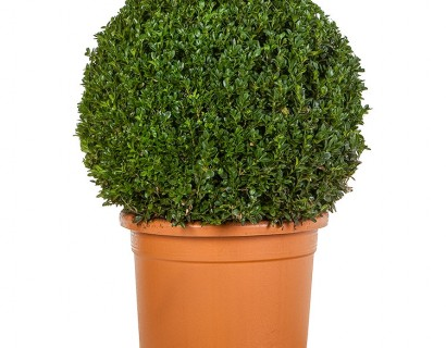 Buxus sempervirens bol 40 cm - palm