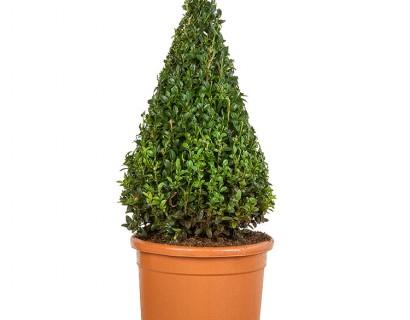 Buxus sempervirens kegel 50 cm