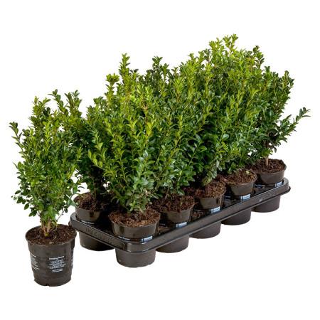 Buxus sempervirens pot 1 liter 20/25 cm - palm