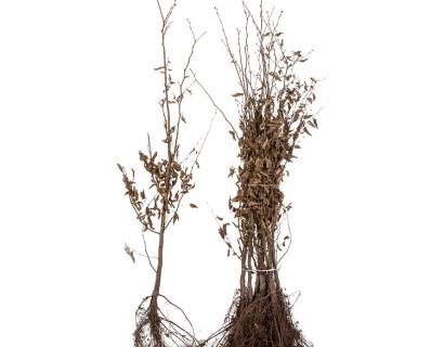 Carpinus betulus 100/125