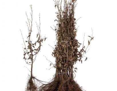 Carpinus betulus 80/100 cm