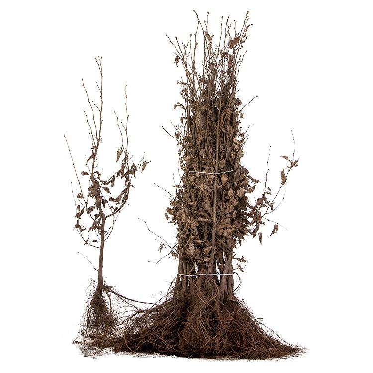 Carpinus betulus blote wortel 80/100 (25/pak).