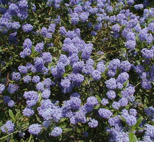 ceanothus 39 victoria 39 amerikaanse sering kopen mar chal. Black Bedroom Furniture Sets. Home Design Ideas