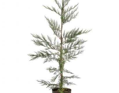 Cupressocyparis leylandii pot 3 liter 80/100 cm - groene haagconifeer