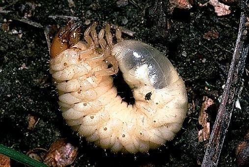larve mei-kever (engerling