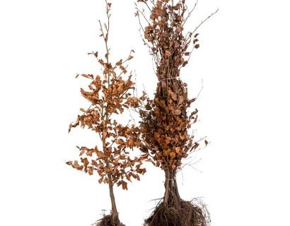 Fagus sylvatica 100/125 cm groene beuk