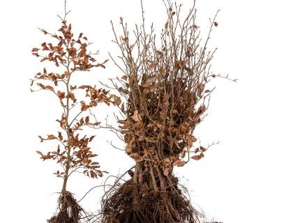 Fagus sylvatica 60/80 cm groene beuk