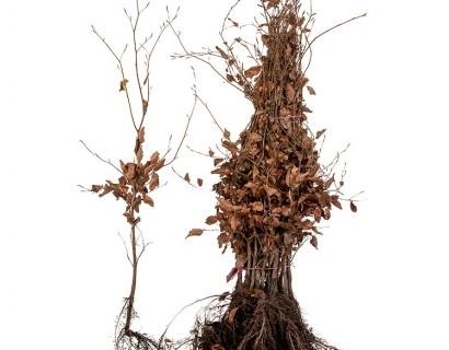 Fagus sylvatica 'Purpurea' 60/80