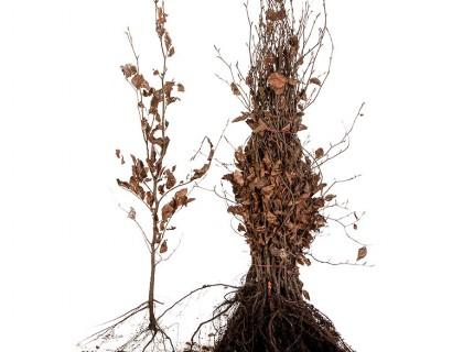 Fagus sylvatica 'Purpurea' 80/100 cm rode beuk