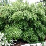 Heeft u informatie over het planten van bamboe?