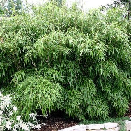 Fargesia rufa planten