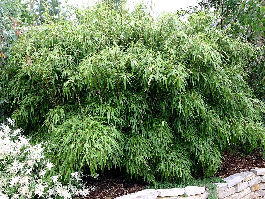 Fargesia 'Rufa' bamboe snoeien