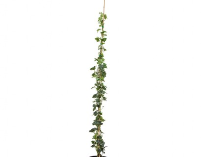 Klimop aan stok pot 3 liter 125/150 cm - grootbladige klimop