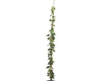 Hedera helix 'Hibernica' pot 3 liter 125/150