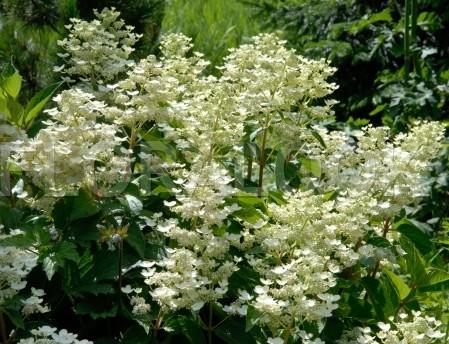 Hydrangea paniculata 'Dahruma' - schapenkop-hortensia