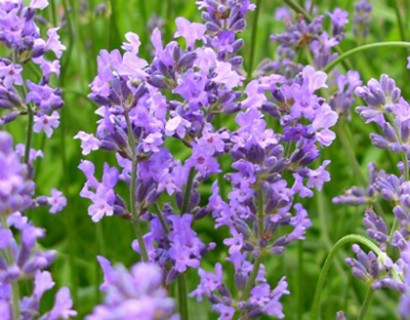 Lavandula angustifolia 'Munstead' - lavendel