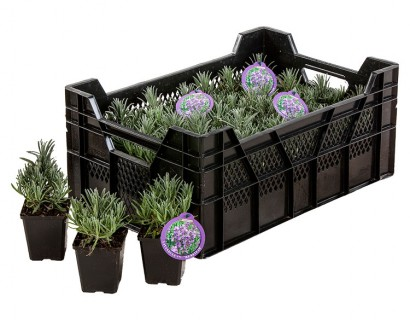 Lavandula angustifolia 'Munstead' pot 9 cm