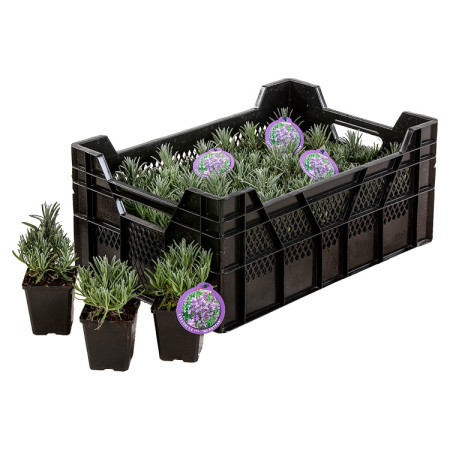 Lavandula angustifolia 'Munstead' pot 9 cm - lavendel