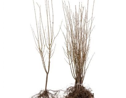 Ligustrum ovalifolium blote wortel 60/90