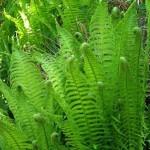 Heeft u informatie over het planten van varens?