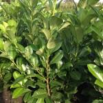 Laurier haag planten: Prunus laurocerasus 'Rotundifolia'.