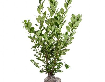 Prunus laurocerasus 'Rotundifolia' kluit 125/150 cm - gewone laurier, paplaurier