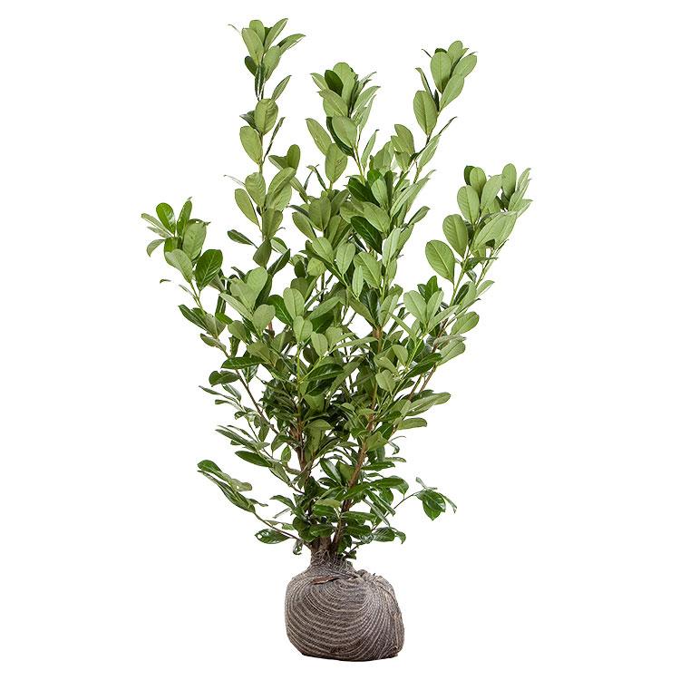 prunus-laur.-rotundifolia-125-150