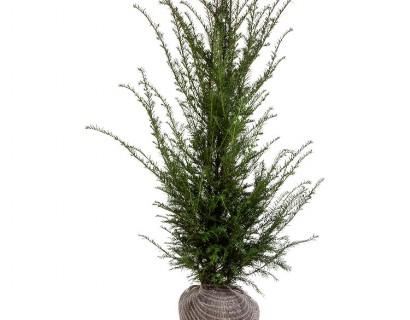 Taxus baccata kluit 100/125 cm