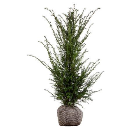 Taxus baccata kluit 100/125 cm - venijnboom