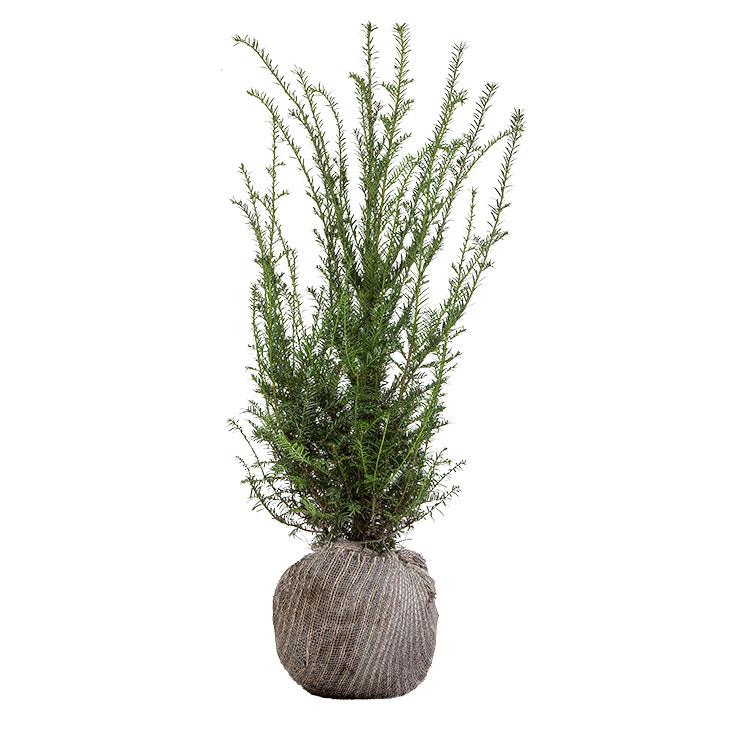 Taxus baccata met kluit.