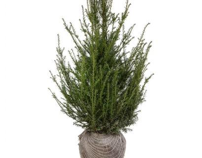 Taxus baccata kluit 80/100 cm