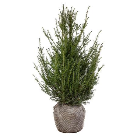 Taxus baccata kluit 80/100 cm - venijnboom