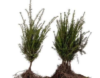 Taxus baccata blote wortel 30/40 cm - venijnboom