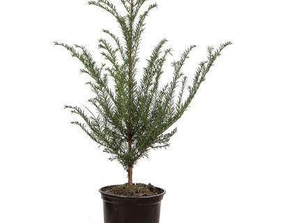 Taxus baccata pot 2 liter 40/50 cm