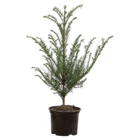 Taxus baccata pot 2 liter 25/30 cm - venijnboom