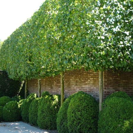 Carpinus betulus 'Frans Fontaine' voorgeleid - lei-carpinus/haagbeuk leivorm