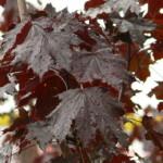 Hoe plant ik bomen met een opvallende bladkleur? Hoe kies ik een boom met een opvallende bladkleur?