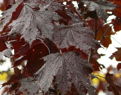 Acer platanoides 'Crimson Sentry' hoogstam bolvorm - Roodbladige esdoorn hoogstam bolvorm