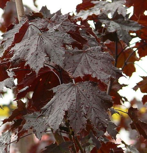 Acer platanoides 'Crimson Sentry' stam - roodbladige esdoorn