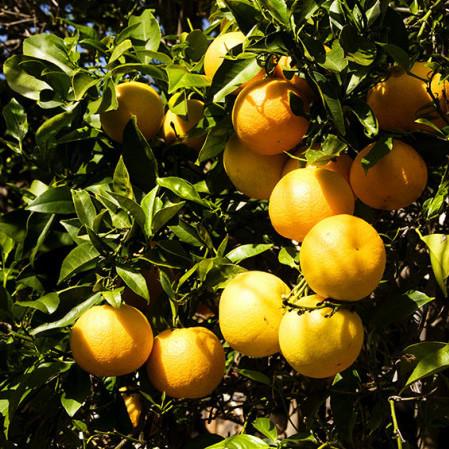 Citrus appelsien - appelsien