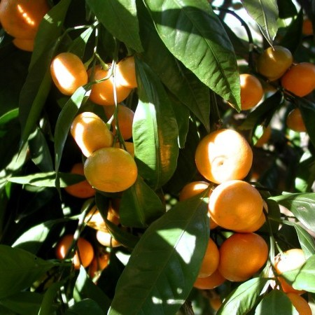 Citrus mandarijn - mandarijn