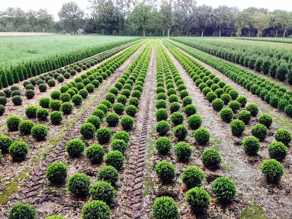 Buxus planten
