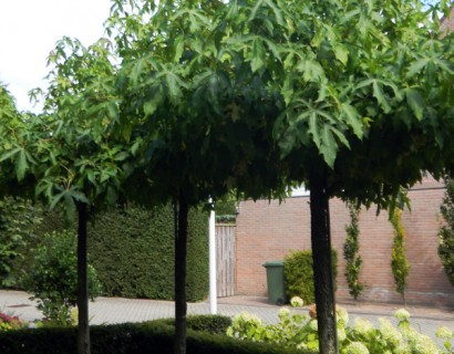 Liquidambar amberboom dakvorm in pot