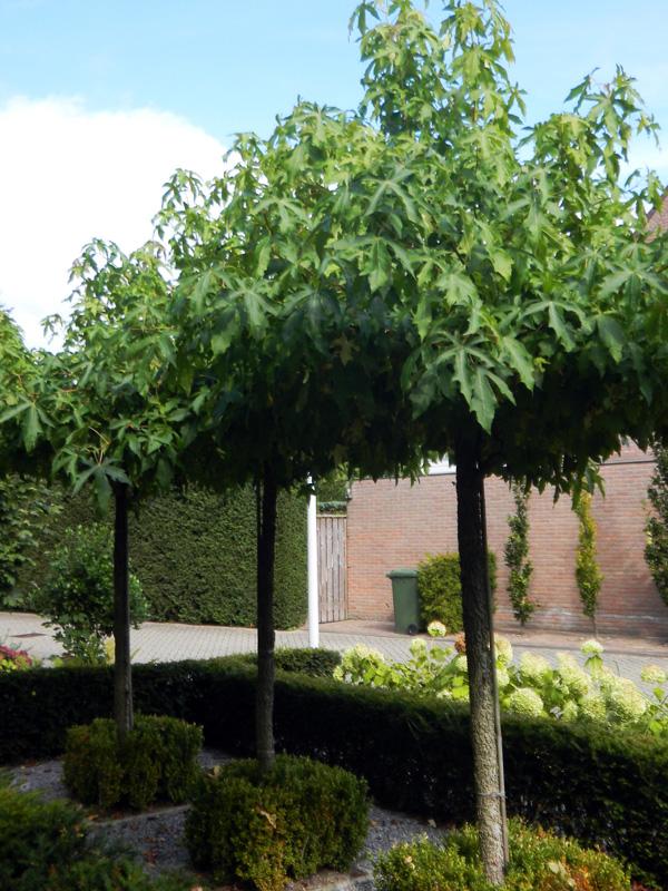 Liquidambar styraciflua dakvorm - amberboom dakvorm
