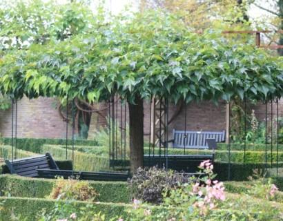 Parasolboom In Tuin : Dakbomen kopen? voordelig een dakboom kopen bij marechal