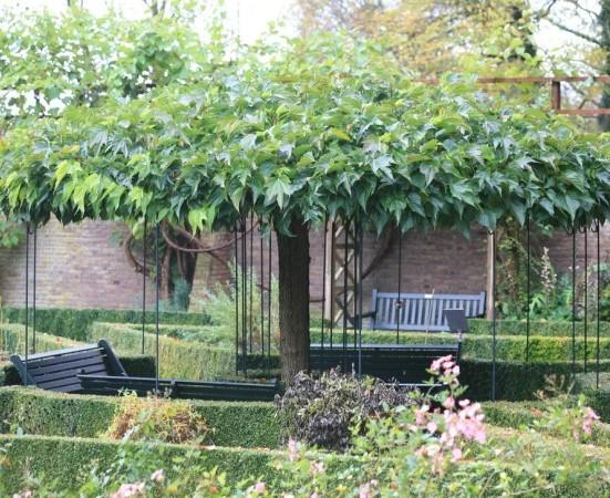 Morus platanifolia 'Fruitless' dakvorm - Moerbei dakvorm