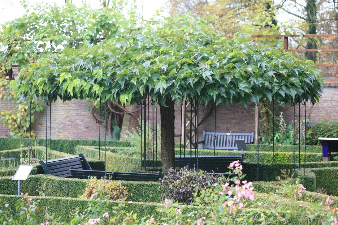 Morus alba 'Platanifolia dakbomen planten