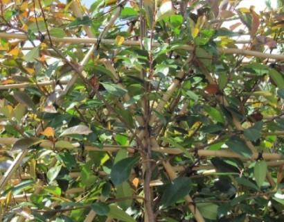 Photinia 'Red Robin' pot voorgeleid - lei-photinia/glansmispel leivorm